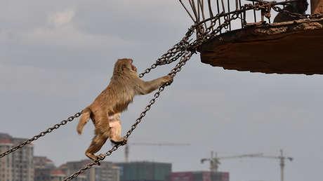 VIDEO: Decenas de monos 'desfilan' por un tendido eléctrico en Japón