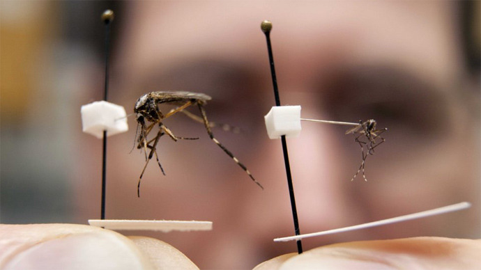 Entomologist Phil Kaufman shows the size difference between the invasive Asian tiger mosquito, right, and the native species Psorophora ciliata, sometimes called the gallinipper (Image credit University of Florida)