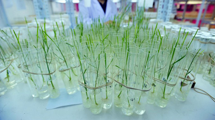 A researcher runs tests on two strains of genetically-modified rice (AFP Photo)