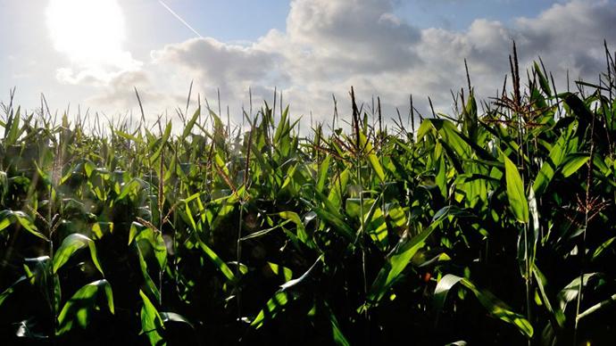 A corn field in Godewaersvelde, northern France. (AFP Photo / Philippe Huguen)