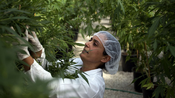 A woman works on marijuana plants where the company grows medical cannabis (AFP Photo / Menahem Kahana)