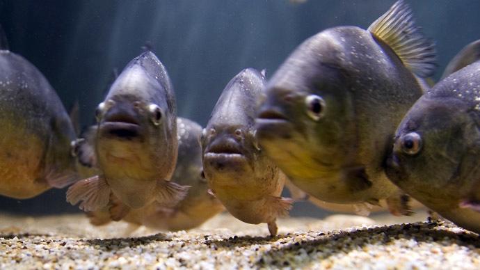 Piranhas (Reuters/Jose Manuel Ribeiro)
