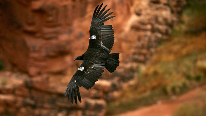 California condor.(AFP Photo / David McNew)
