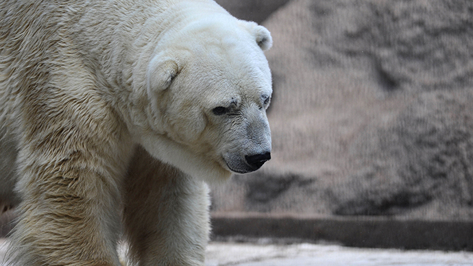 Arturo, the only polar bear in Argentina, living in captivity at a zoo in Mendoza, 1050 km west of Buenos Aires. (AFP Photo / Andres Larrovere)