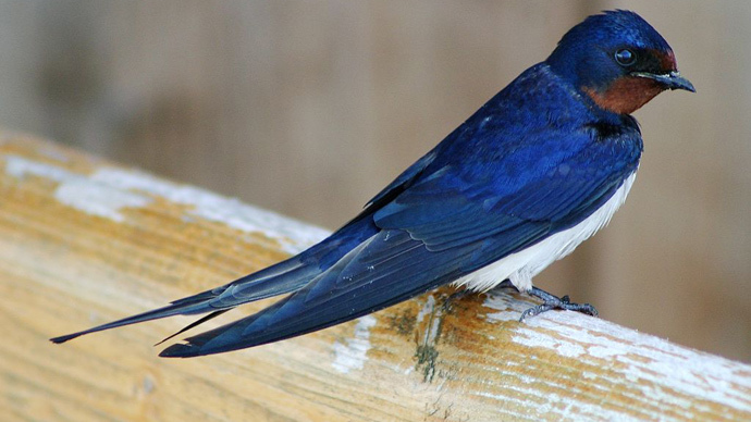 Barn swallow (image from wikipedia.org by Malene Thyssen)