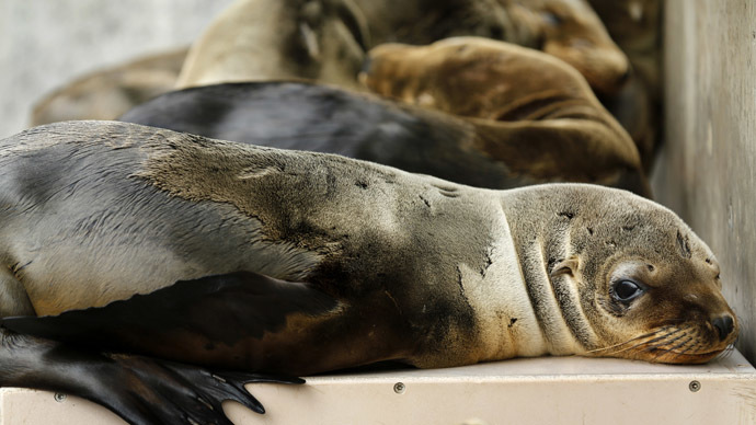 Rescued California sea lion pups rest in their holding pen at Sea World San Diego in San Diego, California (Reuters/Mike Blake)