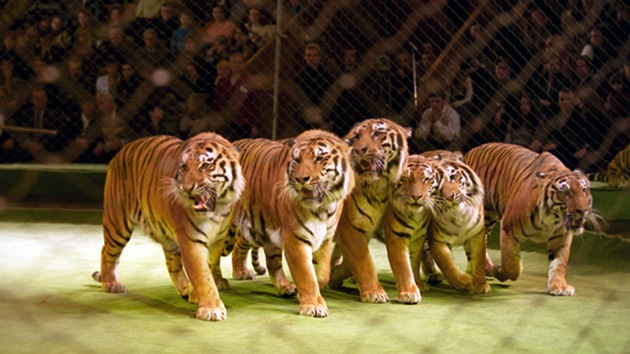 Mueren presuntamente envenenados siete tigres de una especie casi extinta en un circo
