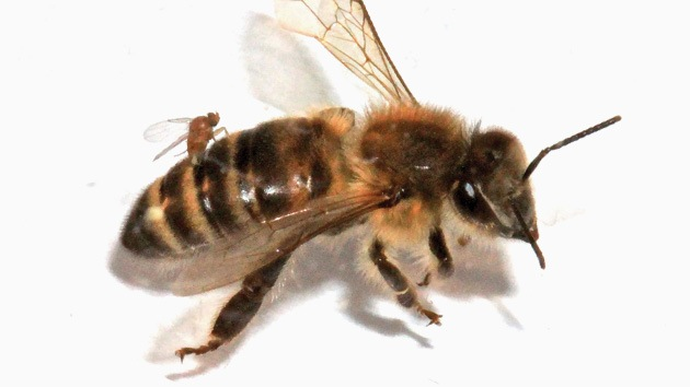¿Qué mosca le ha picado a las abejas de EE.UU.?: Un parásito las convierte en 'zombi'