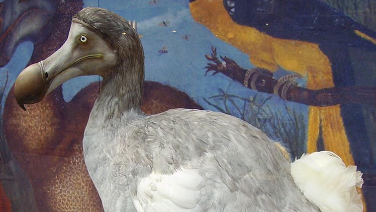 Un cóctel fecal provocó la primera gran extinción de dodos de isla Mauricio