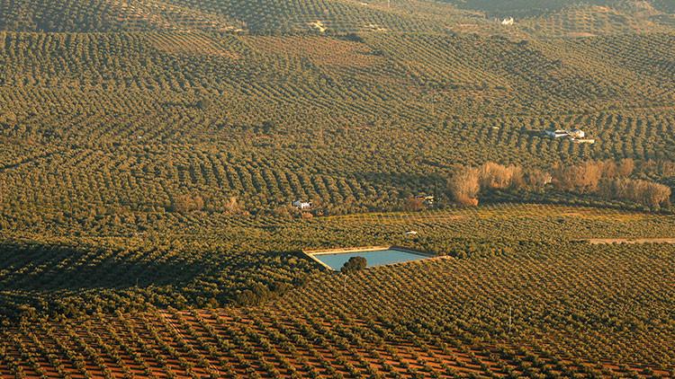 """""""Convierten Europa en un laboratorio"""": Pretenden liberar moscas transgénicas en olivares de España"""