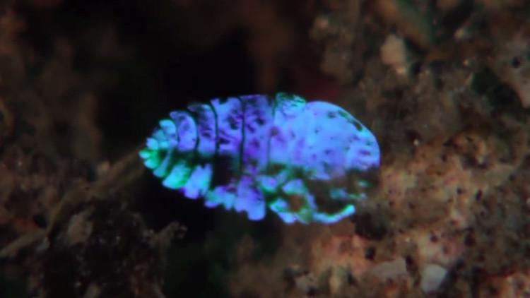 Visto y no visto: descubren el truco de un crustáceo que se vuelve invisible (video)