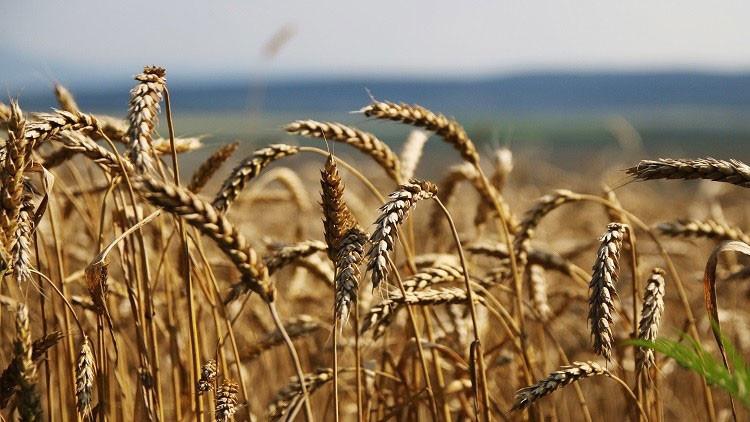 Efecto opuesto de las sanciones: Rusia se impone a EE.UU. en el mercado del trigo