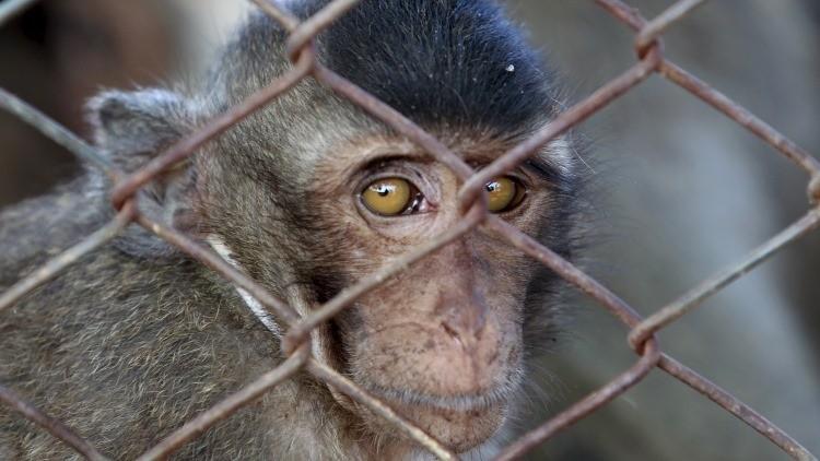 Giro inesperado: Un mono reveló a las fuerzas mexicanas el paradero de 'El Chapo'