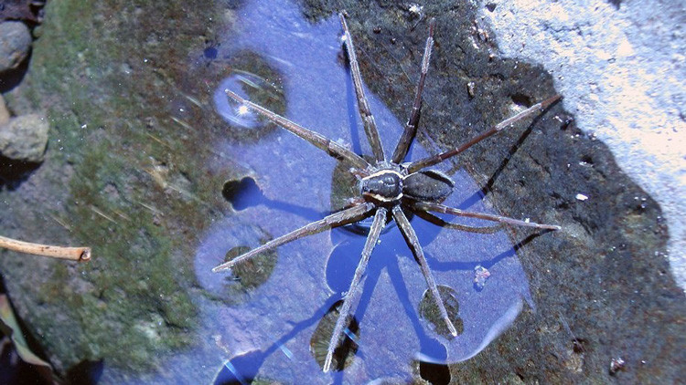 Encuentran una extraoridinaria araña que se alimenta de sapos gigantes