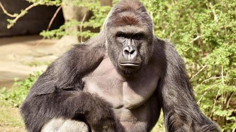 El gorila Harambe, de 17 años, en el zoológico de Cincinnati, EE.UU.