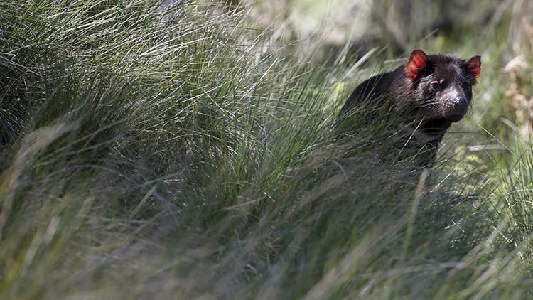 """Identifican los restos de un marsupial """"hipercarnívoro"""" que vivió hace 5 millones de años"""