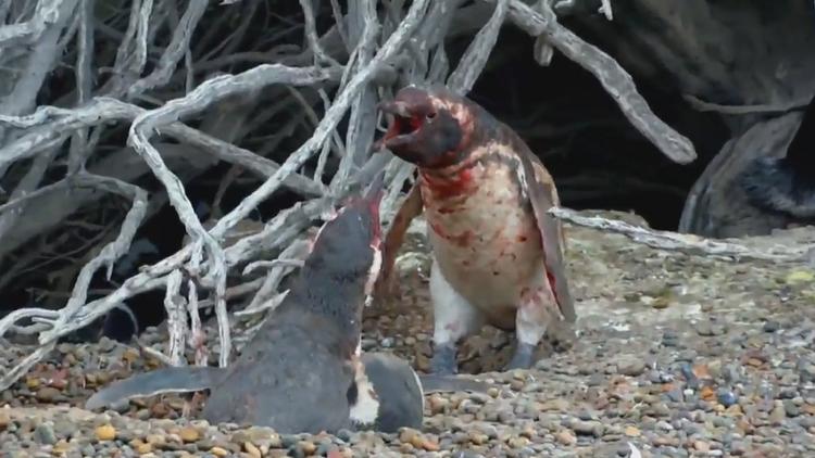 Volvió a su hogar y la encontró con otro: Sangrienta pelea entre dos pingüinos (FUERTES IMÁGENES)