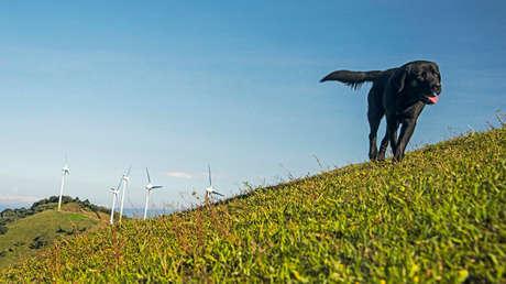 Un perro corre cerca de la planta eólica de Santa Ana, en Costa Rica