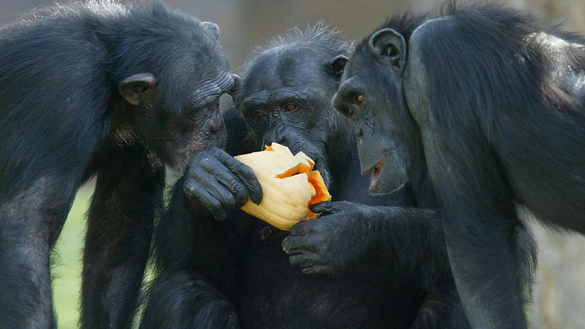 Descubren que los chimpancés comparten alimento solo con sus amigos