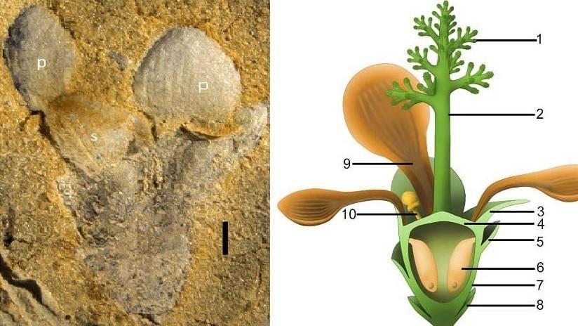 Hallan en China rastros de una planta con flores de hace 174 millones de años