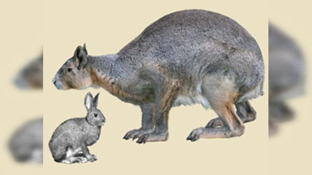 En Menorca encuentran los restos de un conejo gigante