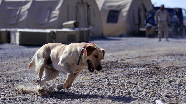 Perros antitanque, gatos espía y un oso soldado: La guerra es cosa de animales