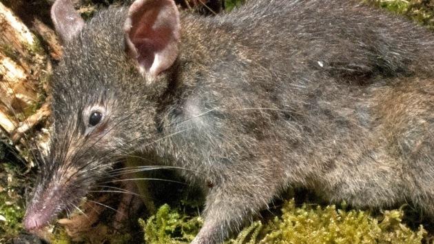 El primer roedor desdentado: muerde, pero no puede mascar
