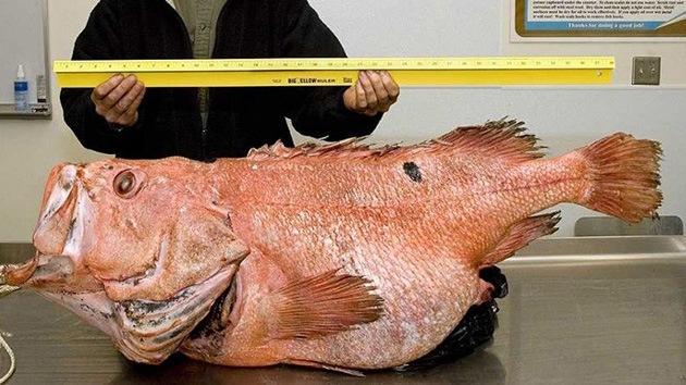 Capturan en Alaska un pez monstruo que podría ser el más antiguo jamás hallado