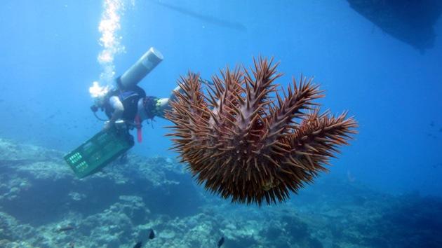 Una estrella de mar 'asesina' amenaza a los arrecifes de coral en Filipinas