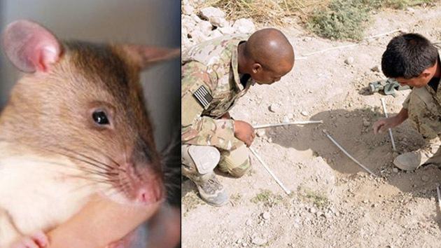 EE.UU. 'recluta' ratas zapadoras