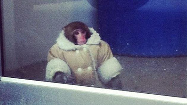 Canadá: Darwin, el mono de IKEA, pasará la Navidad en un refugio