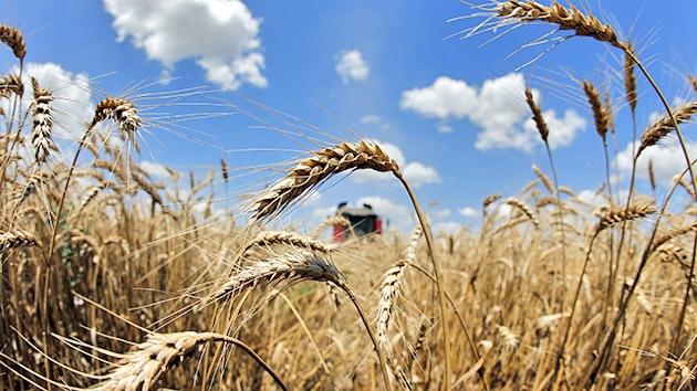 EE.UU.: Denuncian el hallazgo de una plantación de trigo transgénico en Montana
