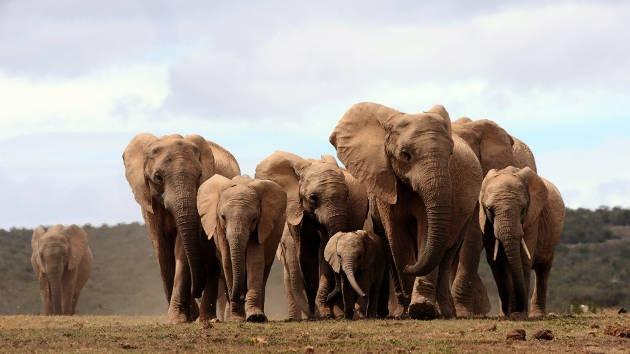 Los elefantes usan el mismo mecanismo que los humanos para comunicarse