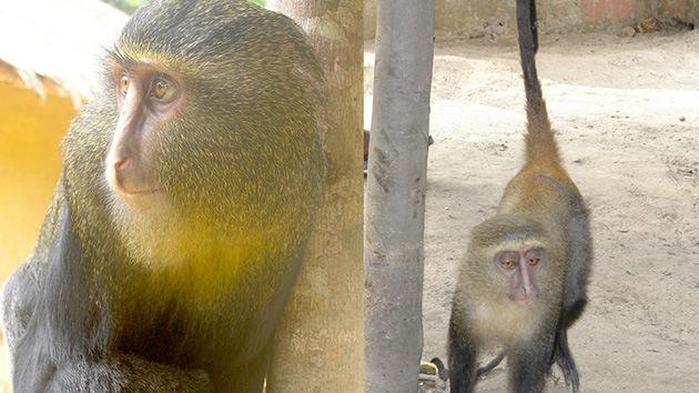 'Salta' una nueva especie de mono africano