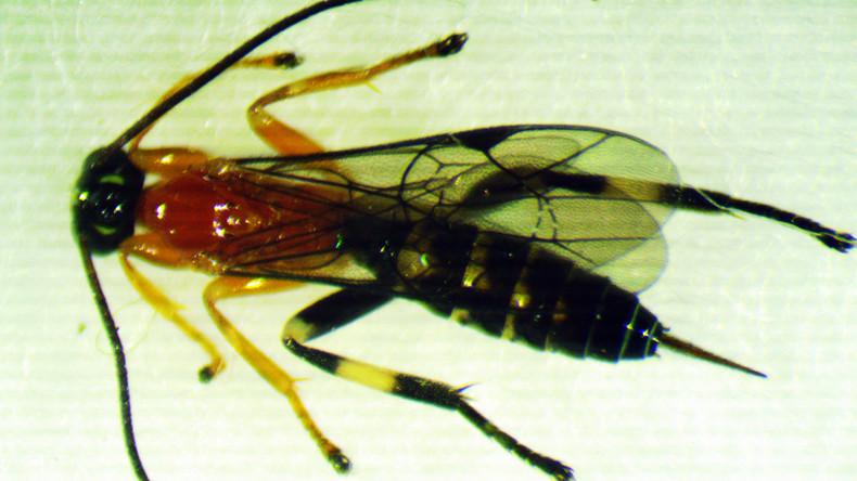 In Ecuador entdeckt: Wespenart verwandelt Spinnen in Zombies