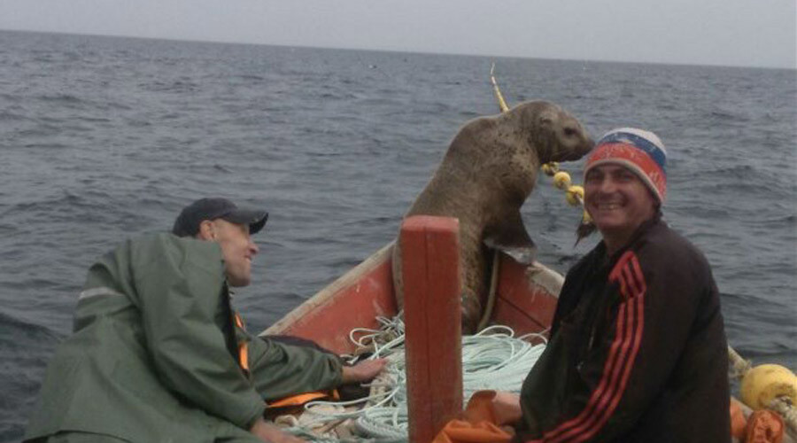 Seal climbs aboard Russian fishing boat, rides for 8 hours (PHOTOS)