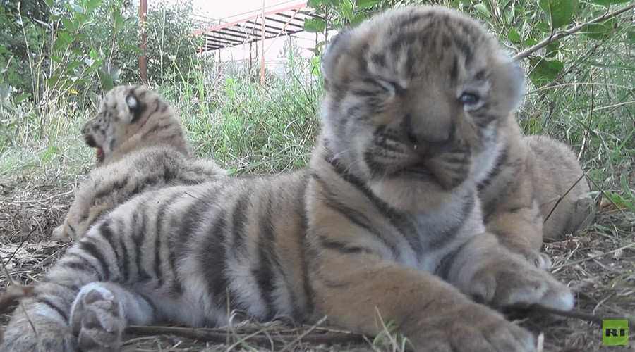 Cuteness cubed: Siberian tiger gives birth to triplets in Crimea zoo (VIDEO)
