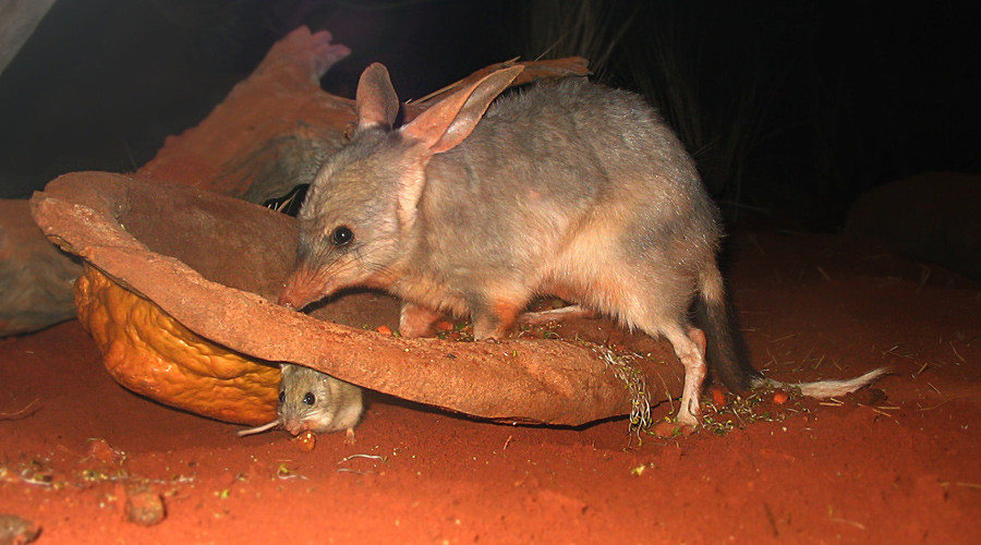 A bilby and a Spinifex hopping mouse