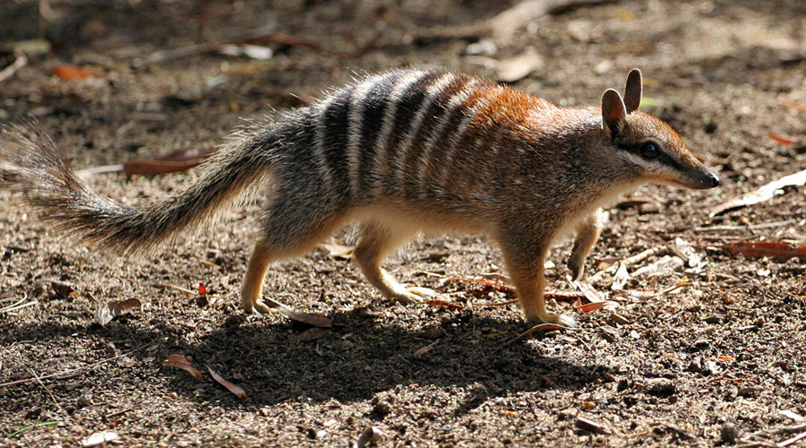 Numbat Perth Zoo © Martin Pot