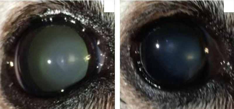 Eye drops dissolved cataracts in dogs.
