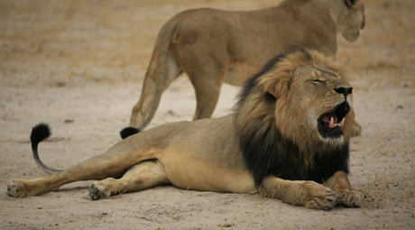 The late Cecil, Zimbabwe's favorite lion © Zimbabwe National Parks