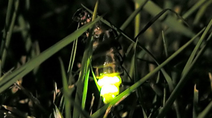 Lighting lovers' lane: Welsh council switches street lamps to help glowworms' sex lives