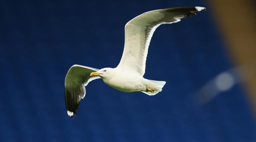 Drone vs seagull! 'Egg oiling' UAV to target aggressive birds