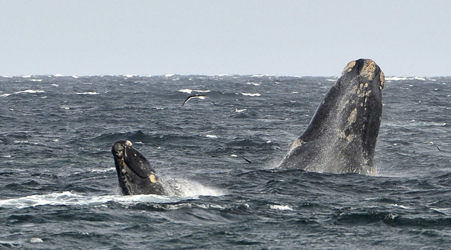 Young southern right whale swims in the waters of the Atlantic Sea © Maxi Jonas