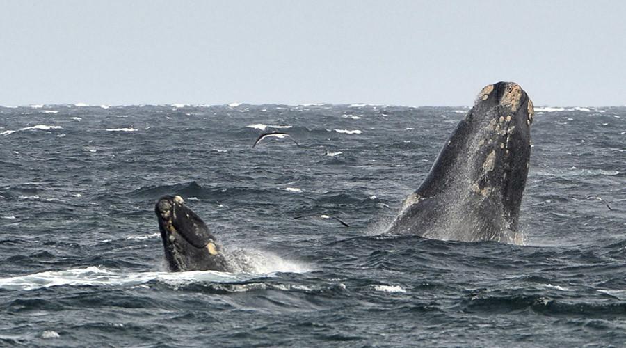 Australian fishermen answer waste-plagued whale's plea for help (VIDEO)