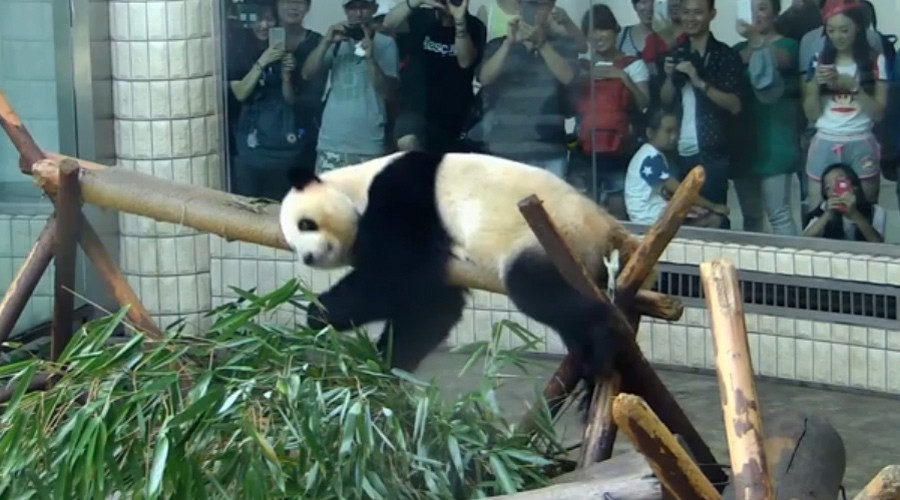 Notorious panda performs gymnastics routine for adoring fans (VIDEO)