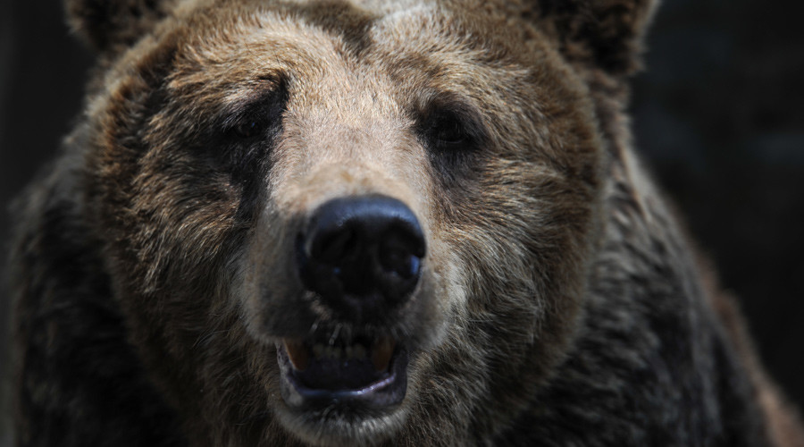 Russian bear run over several times by SUV, escapes, chases tormentors (VIDEO)