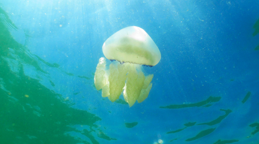Venomous jellyfish 'size of 5 London buses' invading Britain