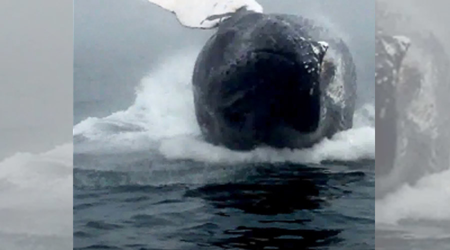 A whale of a tale: Huge humpback caught up close & personal off Canadian coast (VIDEO)