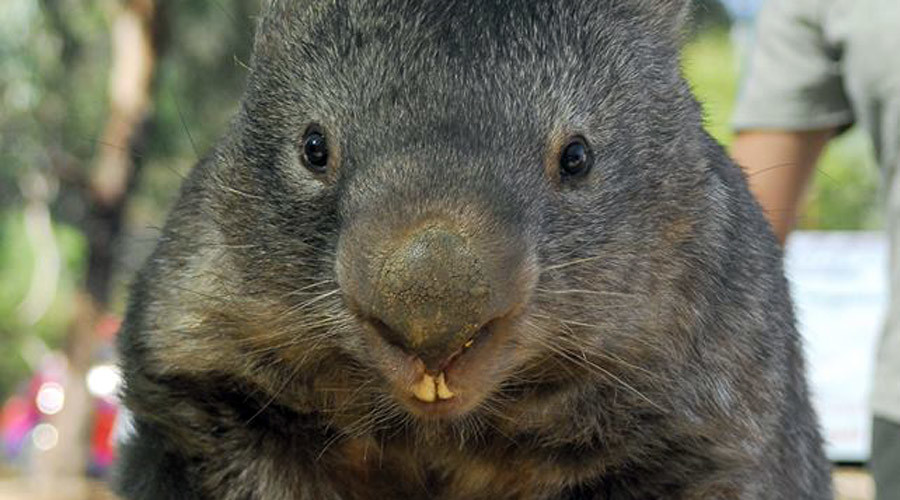 World's oldest captive wombat seeks love on Tinder ahead of 30th birthday